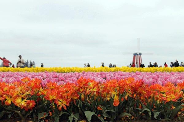 tulipweb3